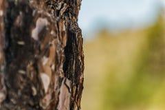 关闭吠声老Canarian松树,亦称松属canariensis,地方性生长在火山附近的高处 图库摄影