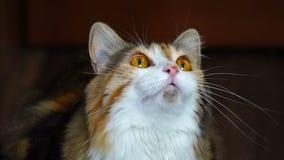 关闭咆哮秀丽的猫 狂放的黄色眼睛 股票视频