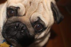 关闭哈巴狗的面孔 库存照片