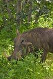 关闭哺养在草的疣肉猪 免版税库存图片