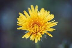 关闭唯一开花的蒲公英花在庭院里 免版税库存照片