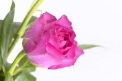 关闭唯一桃红色玫瑰和叶子 图库摄影