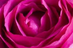 关闭唯一桃红色玫瑰 库存图片