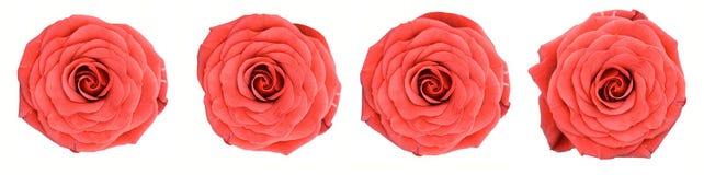 关闭四朵宏观红色玫瑰加满视图 免版税库存照片