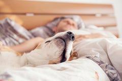 关闭图象小猎犬口鼻部在他的所有者床上 免版税库存照片