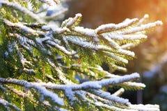 关闭圣诞树早午餐 图库摄影
