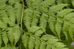 关闭在一个分支的绿色叶子自然纹理背景的 免版税库存照片
