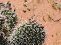 关闭在一个真实的臭虫在仙人掌植物的Heteroptera Linnaeus的宏指令,在圣乔治犹他附近在南西部沙漠美国 库存图片
