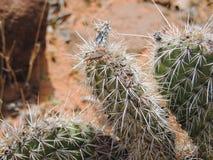 关闭在一个真实的臭虫在仙人掌植物的Heteroptera Linnaeus的宏指令,在圣乔治犹他附近在南西部沙漠美国 库存照片