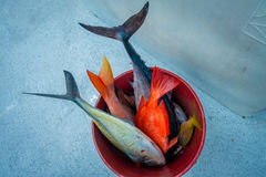 关闭在一个红色桶里面的被分类的鱼在劳德代尔堡,佛罗里达 库存图片