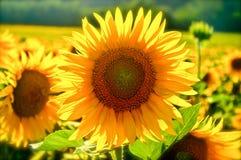 关闭在一个领域的一个向日葵在托斯卡纳 库存照片