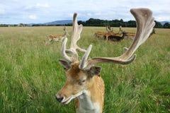 关闭在一个绿色领域的一个小鹿大型装配架 菲尼斯公园,都伯林,爱尔兰 免版税库存图片