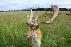 关闭在一个绿色领域的一个小鹿大型装配架 菲尼斯公园,都伯林,爱尔兰 免版税图库摄影
