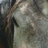关闭在一只灰色马眼睛 库存照片
