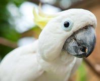 关闭在一只白色鹦鹉 免版税库存图片