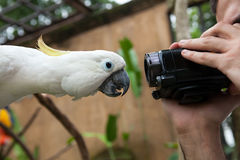 关闭在一只白色鹦鹉 免版税库存照片