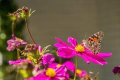 关闭在一朵桃红色花的橙色蝴蝶在春天 库存照片