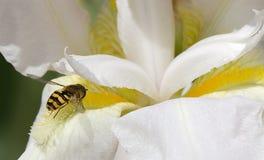 关闭在一朵白色和黄色花的蜂蜜蜂 库存图片