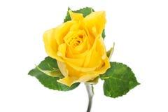 关闭在一朵黄色玫瑰。 图库摄影