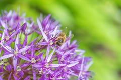 关闭在一朵紫色葱属电灯泡花的一只蜂 库存图片