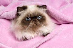 关闭在一条桃红色床罩的波斯封印colourpoint猫 图库摄影