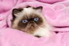 关闭在一条桃红色床罩的波斯封印colourpoint猫 库存照片