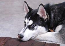 关闭在一条美丽的多壳的狗的蓝眼睛 多壳的纵向西伯利亚人 库存图片