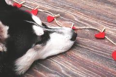 关闭在一条美丽的多壳的狗的蓝眼睛 多壳的纵向西伯利亚人 库存照片