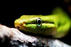 关闭在一条翠青蛇 库存图片