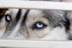关闭在一条西伯利亚爱斯基摩人狗的美丽的蓝眼睛 图库摄影
