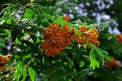 关闭在一棵树的明亮的花楸浆果与 图库摄影