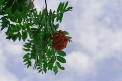 关闭在一棵树的明亮的花楸浆果与 库存照片
