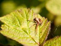 关闭在一片叶子的一只蜘蛛外面在春日光m 免版税库存图片