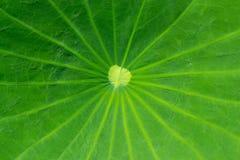 关闭在一片绿色莲花叶子 库存图片