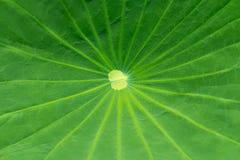 关闭在一片绿色莲花叶子 库存照片