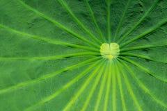 关闭在一片绿色莲花叶子 免版税库存照片