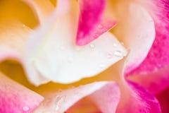 关闭在上升了;变粉红色黄色和白色与露滴 图库摄影