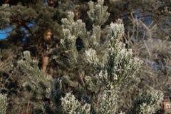 关闭在与霜的一棵小杉木顶部  库存图片