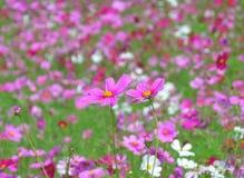 关闭在东北泰国中的波斯菊领域的两朵开花的桃红色波斯菊花 免版税库存图片