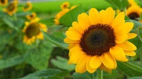关闭在充分的开花的向日葵在庭院里 库存照片