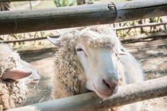 关闭在农场的绵羊 库存照片