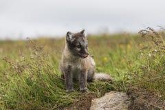关闭在冰岛的幼小嬉戏的白狐崽 免版税库存图片