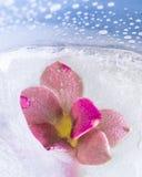 关闭在冰的桃红色结冰的花 免版税库存图片