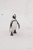 关闭在冰砾海滩的唯一非洲企鹅 免版税库存照片