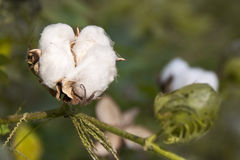 关闭在分支的一个新鲜的棉花球 图库摄影