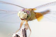 关闭在分支的一只蜻蜓 库存照片