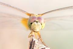 关闭在分支的一只蜻蜓 免版税库存照片