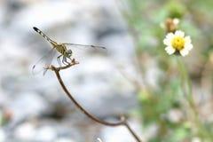 关闭在分支的一只蜻蜓 库存图片