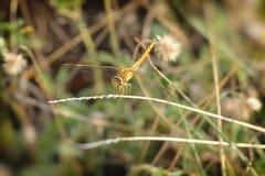 关闭在分支的一只蜻蜓 免版税库存图片
