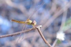 关闭在分支的一只蜻蜓 免版税图库摄影